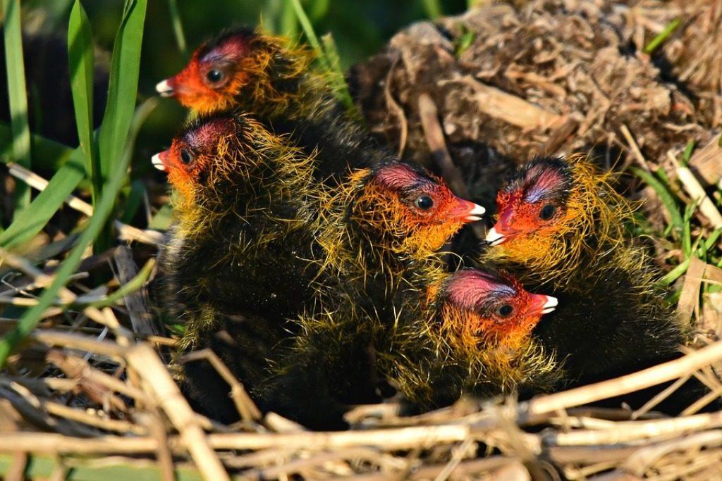 piccoli di folaga nel nido