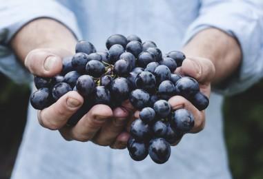 La vendemmia e la raccolta dell'uva