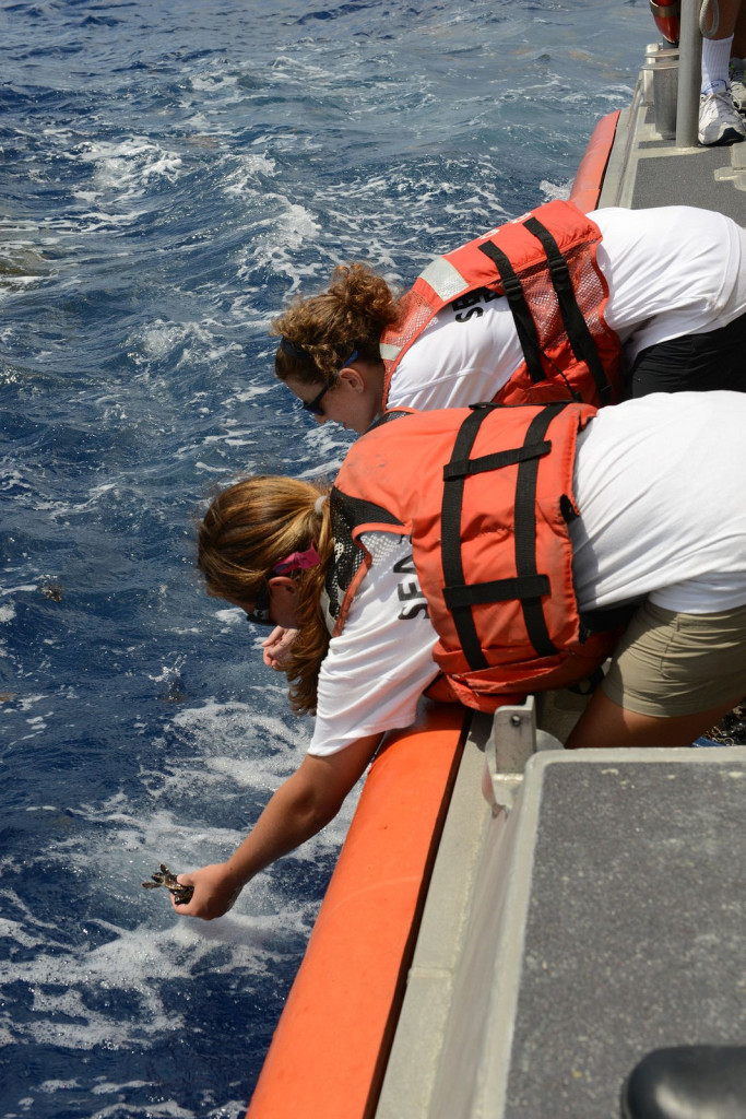 Volunteers work together to release more than 300 baby sea turtles back into the Atlantic Ocean 2014