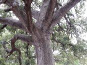 Rimettiamoci in cammino e fotografiamo gli alberi monumentali