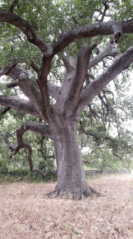 quercia vallonea di Tricase (Salento, Puglia)