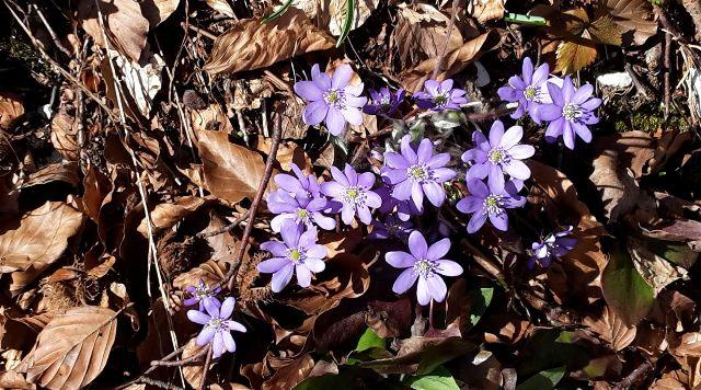 fiori di montagna lilla